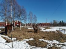 Är det något som är typiskt Rättvik så är det hästar. Dem finns lite överallt.